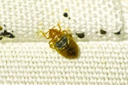 A picture of a bed-bug on the mattress