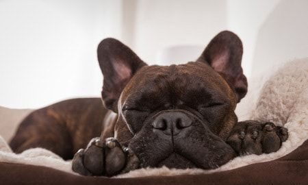 A little brown pug dog's face sleeping in a bed